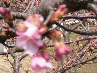 桜 001.jpg